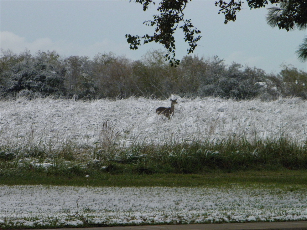 White-tailed doe in the snow