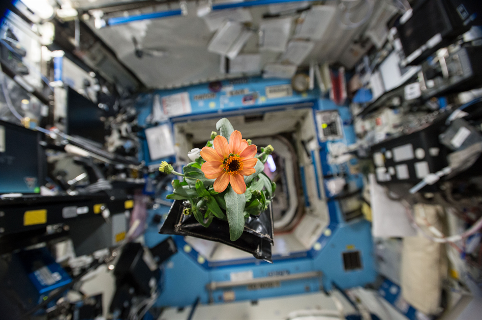 A Zinnia plant pillow floats through the US Destiny Laboratory aboard the International Space Station The zinnias are part of the flowering crop experiment that began on Nov 16 2015 when NASA astronaut Kjell Lindgren activated the Veggie system and its rooting pillows containing zinnia seeds Image Credit NASA